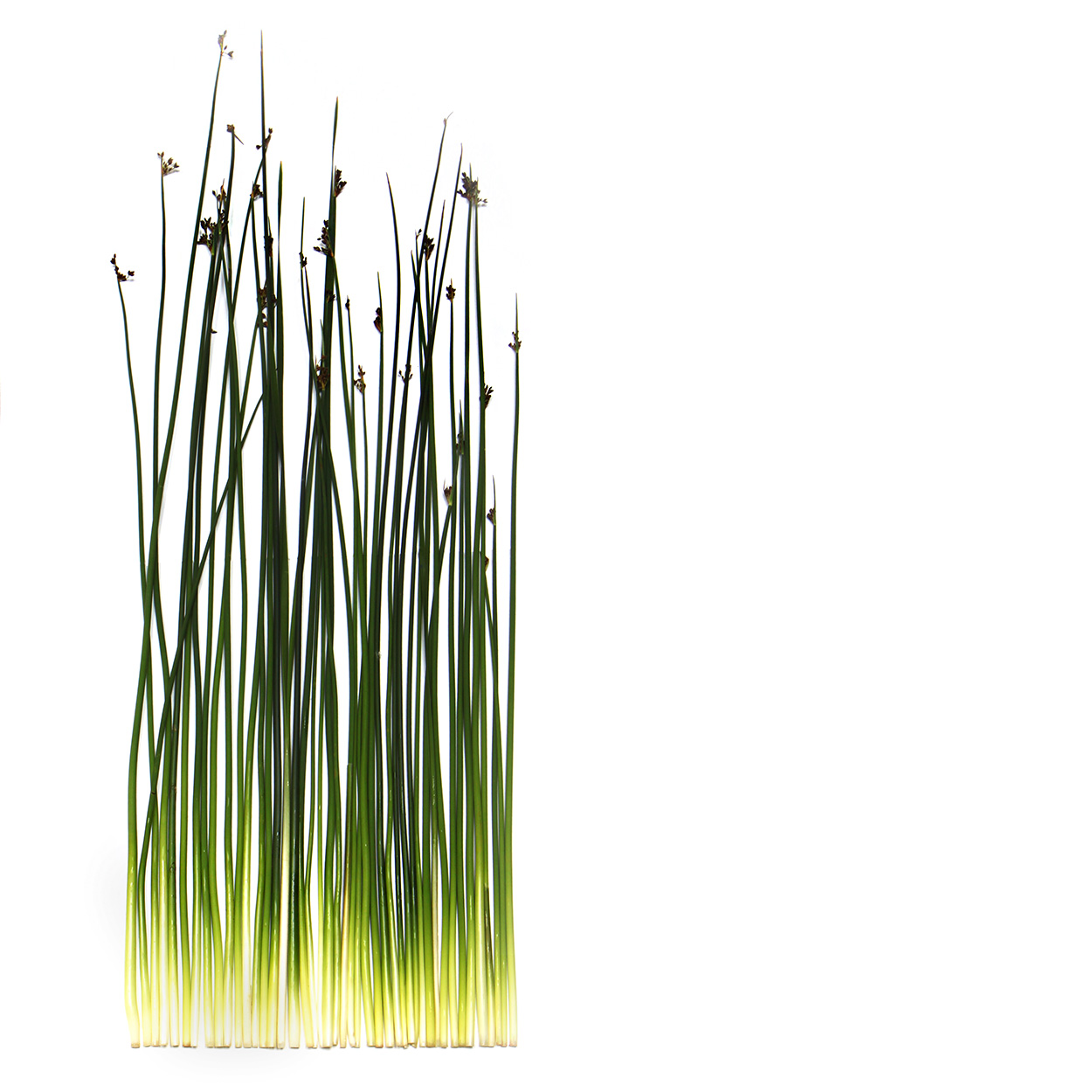 sedges, reeds, and rushes