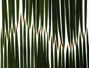 midsummer cattails