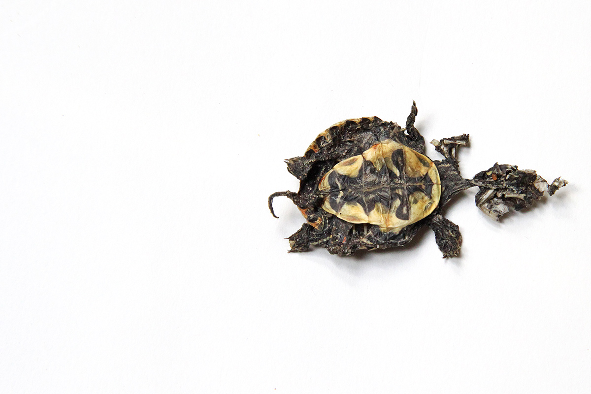 too few turtles