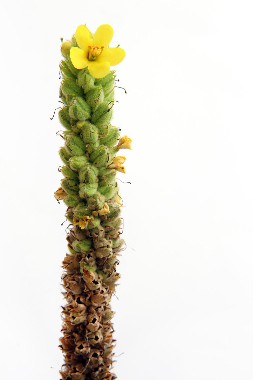a minnesota cactus