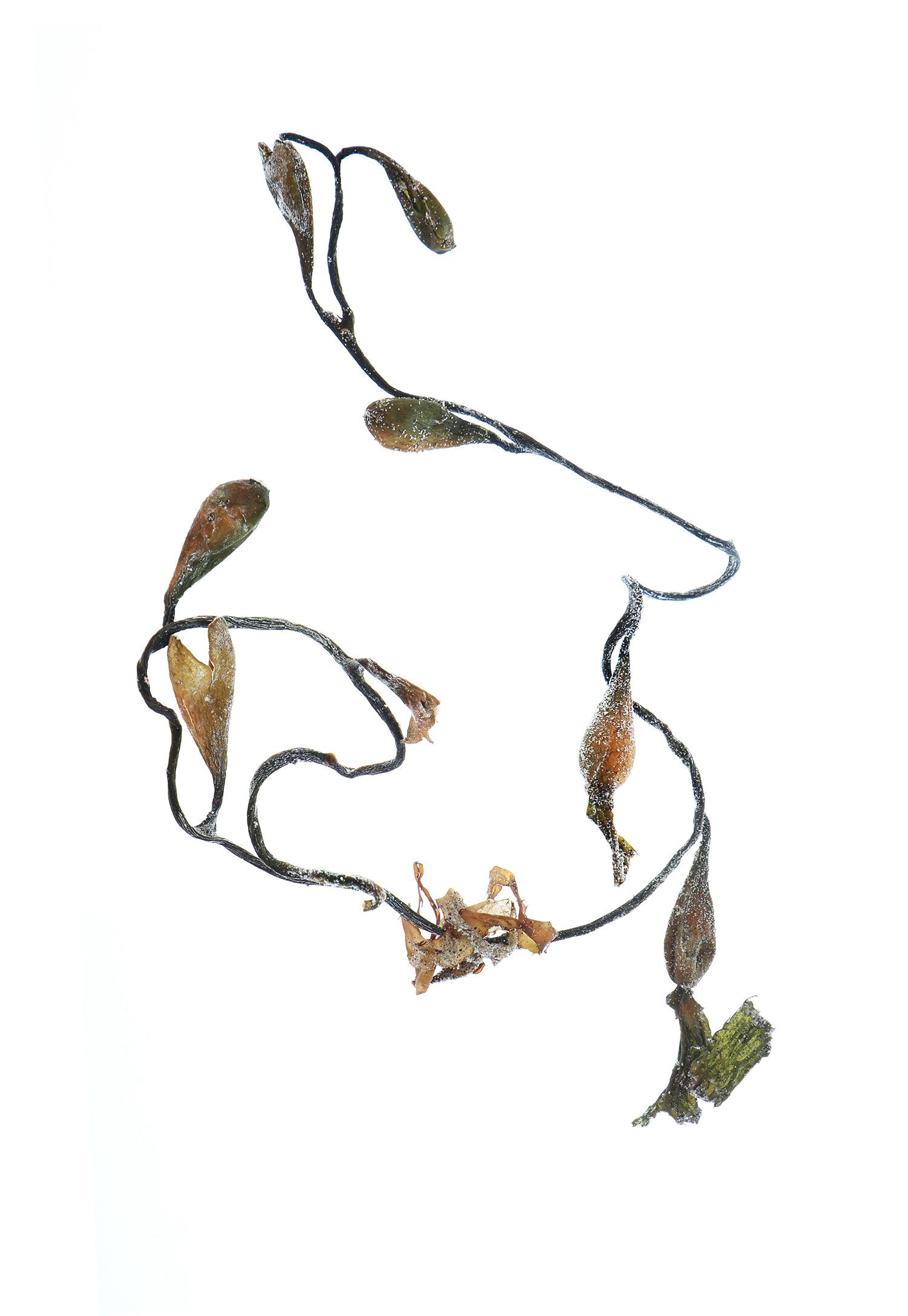 calder kelp
