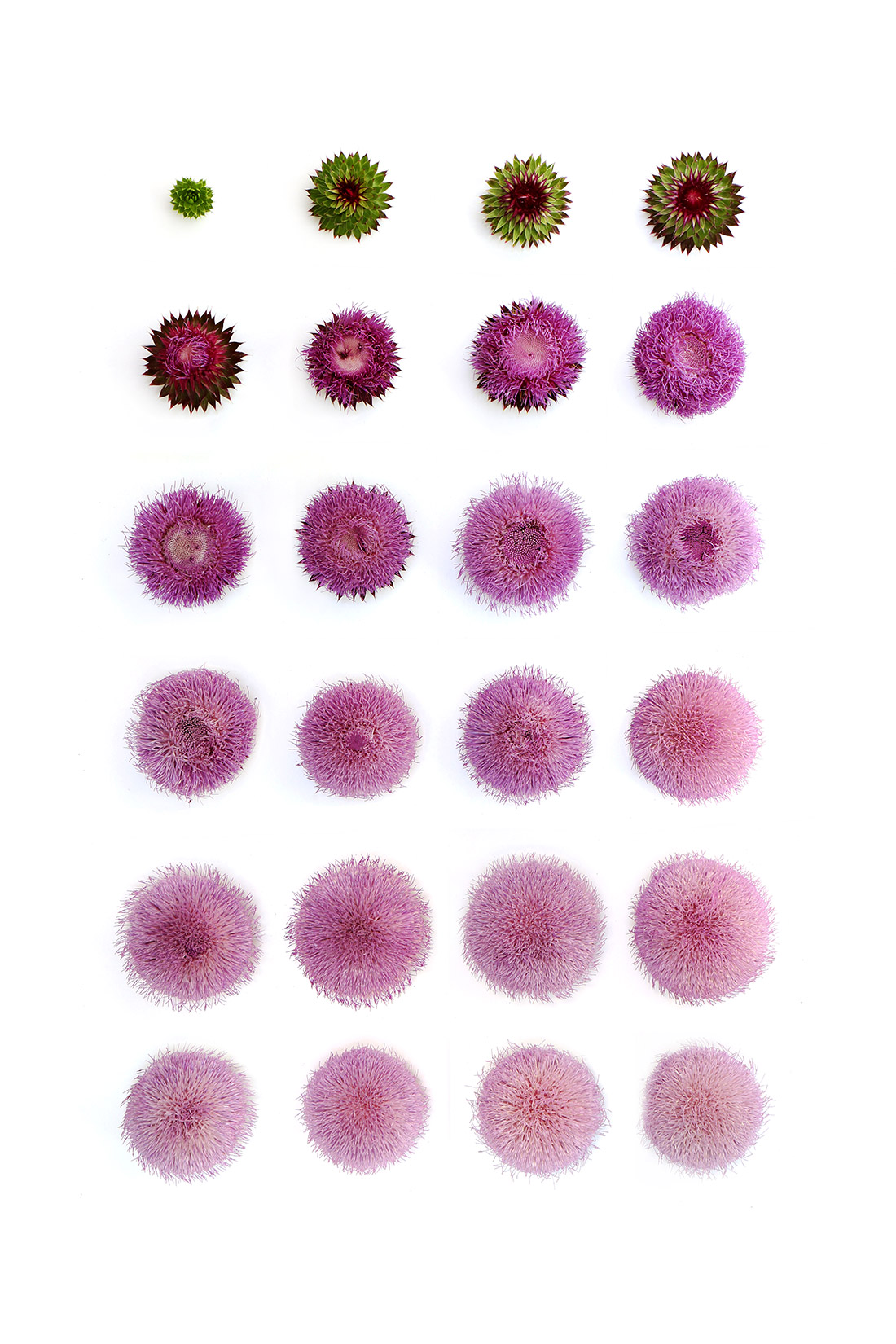 the life cycle of the musk thistle
