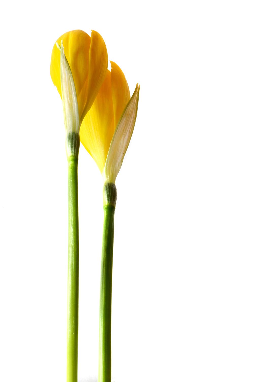 saffron's cousin