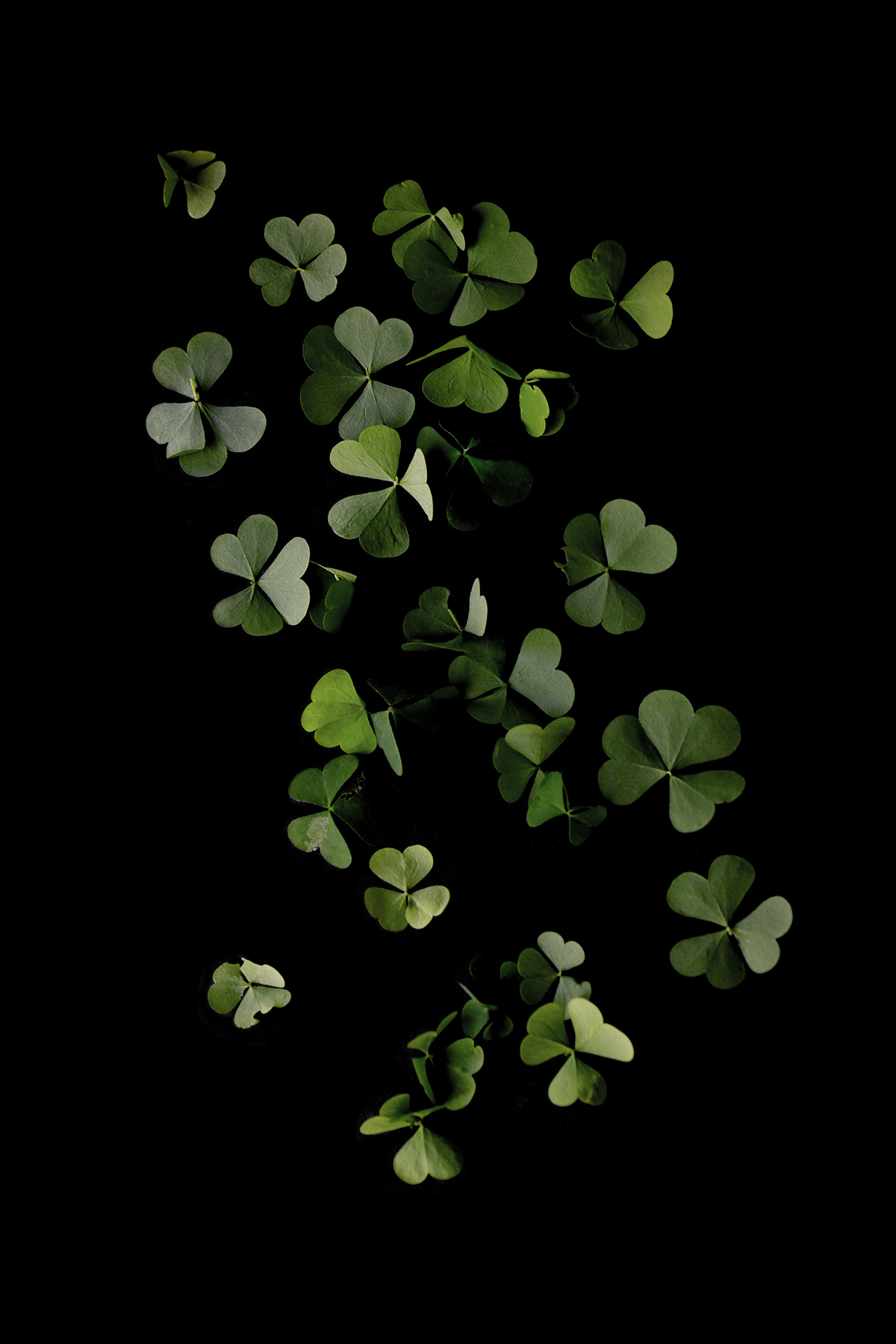 false shamrock