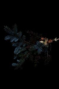blue spruce in blue light