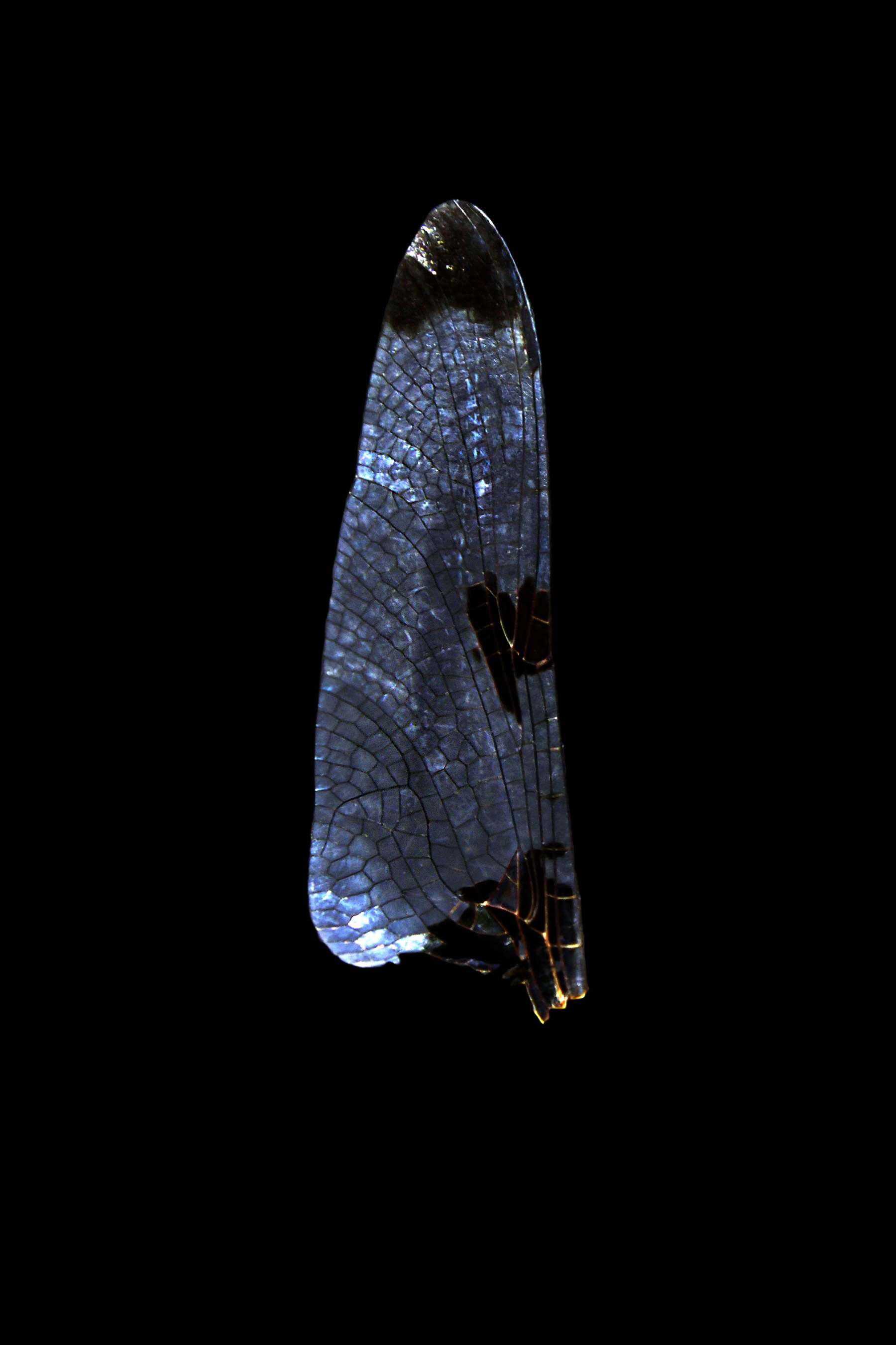 what color is a dragonfly wing?