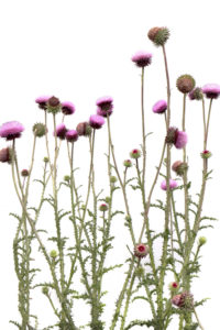 the annual musk thistle photo