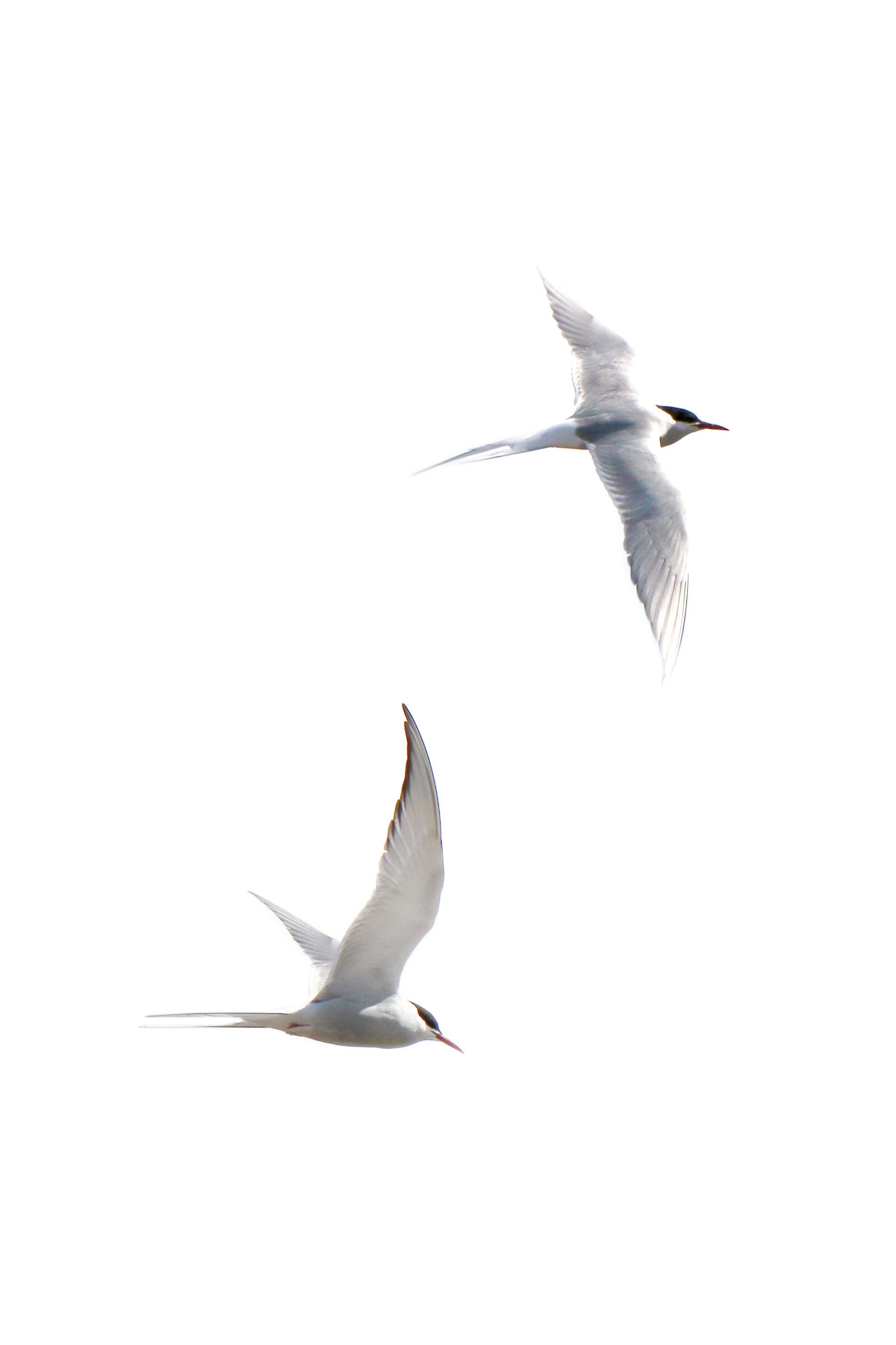two terns for tony