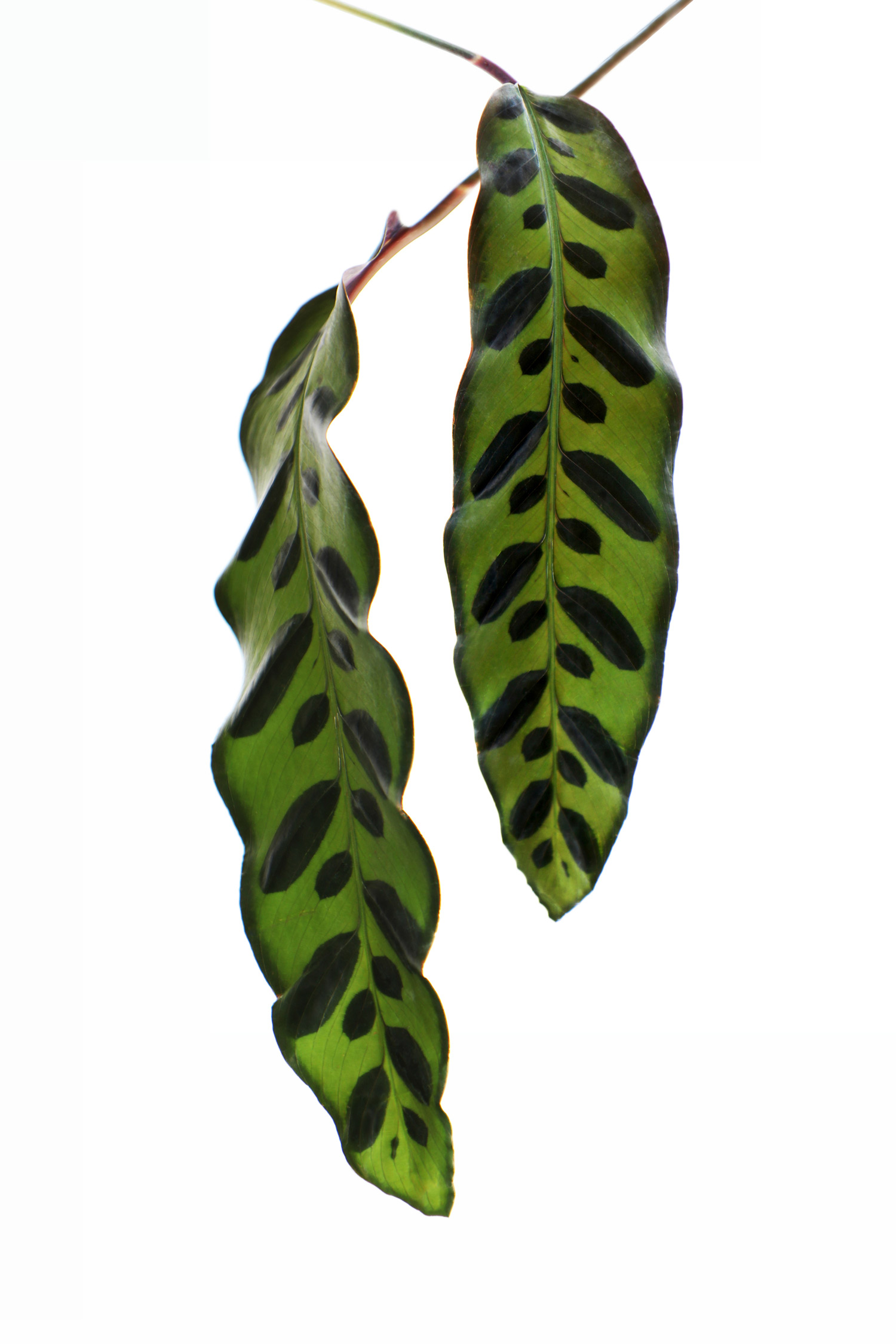 leaves within a leaf