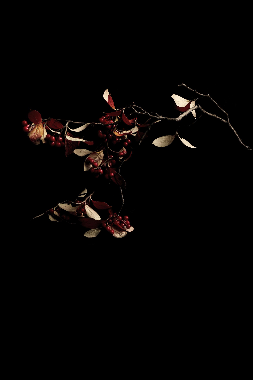 firethorn bush