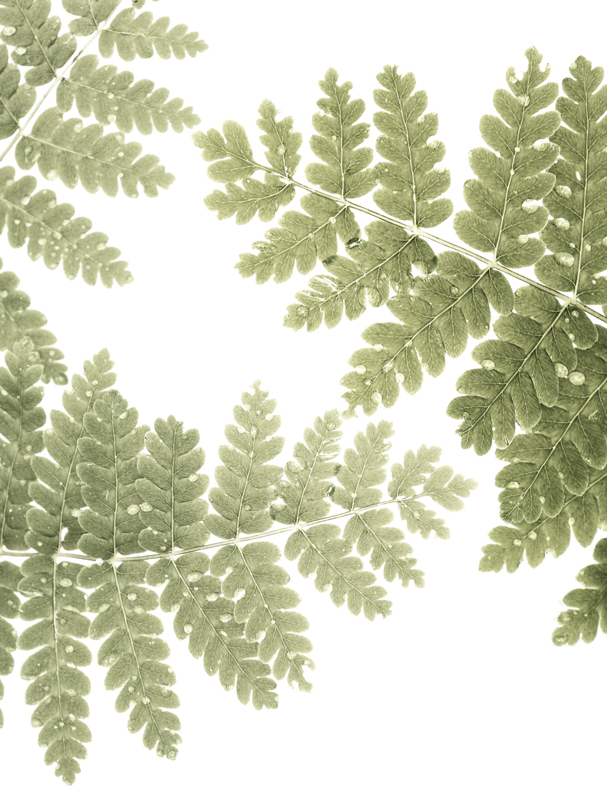 friday fern day