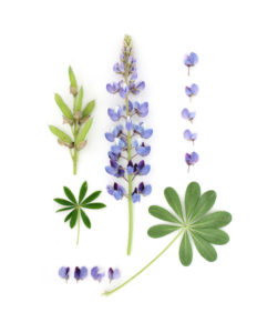 deconstructed lupine