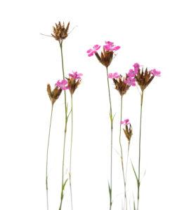 carthusian carnations