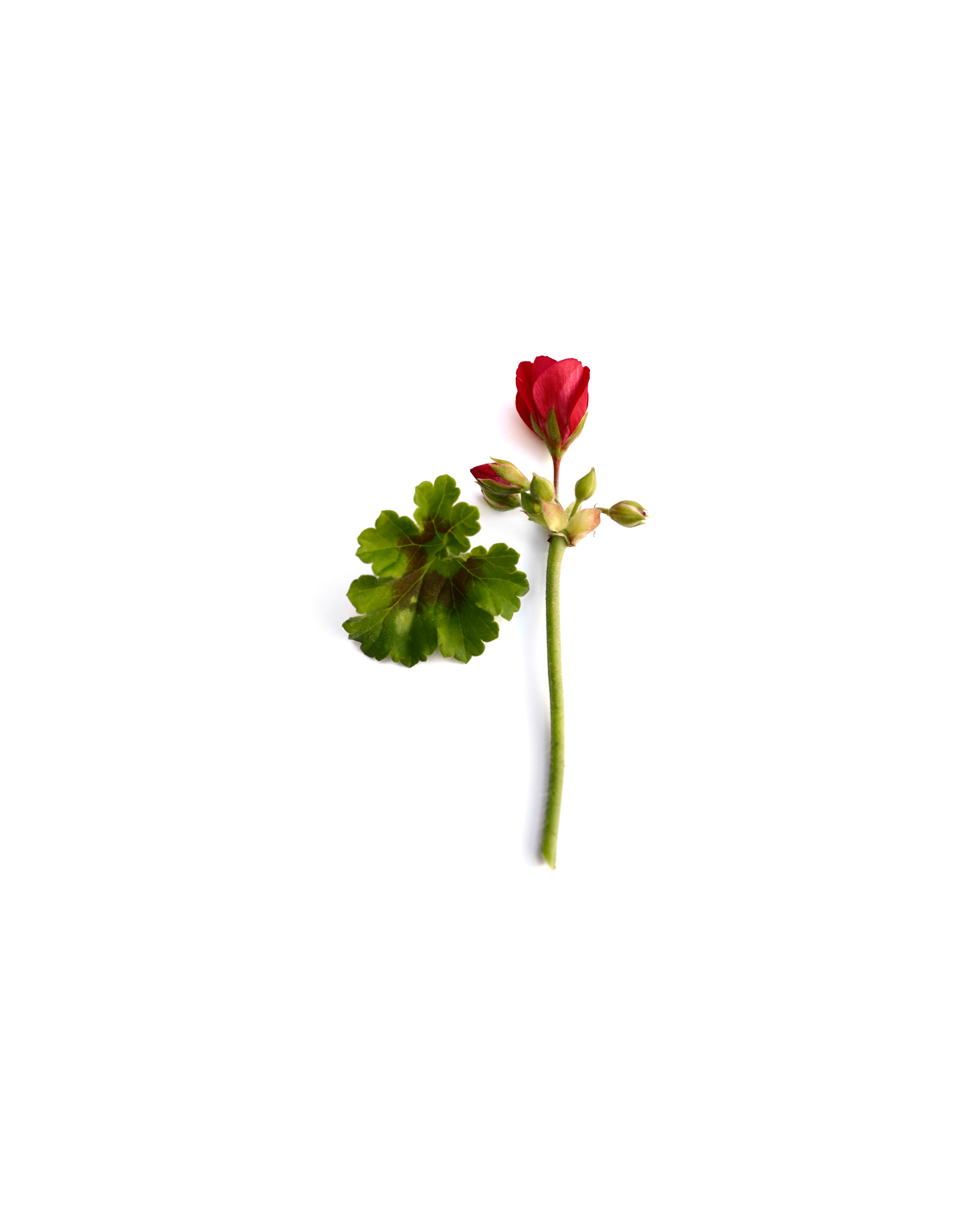 a rose is a rose is a geranium