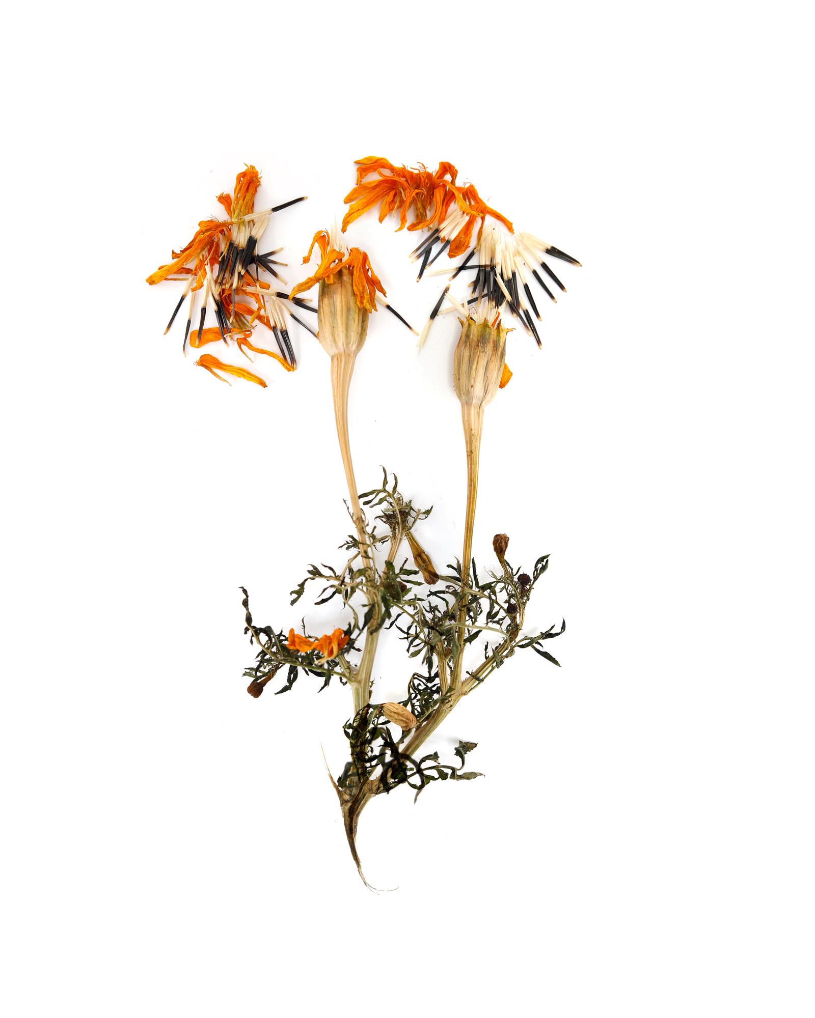 a november marigold
