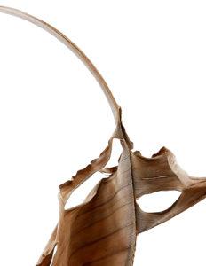 woody leaf or leafy wood?