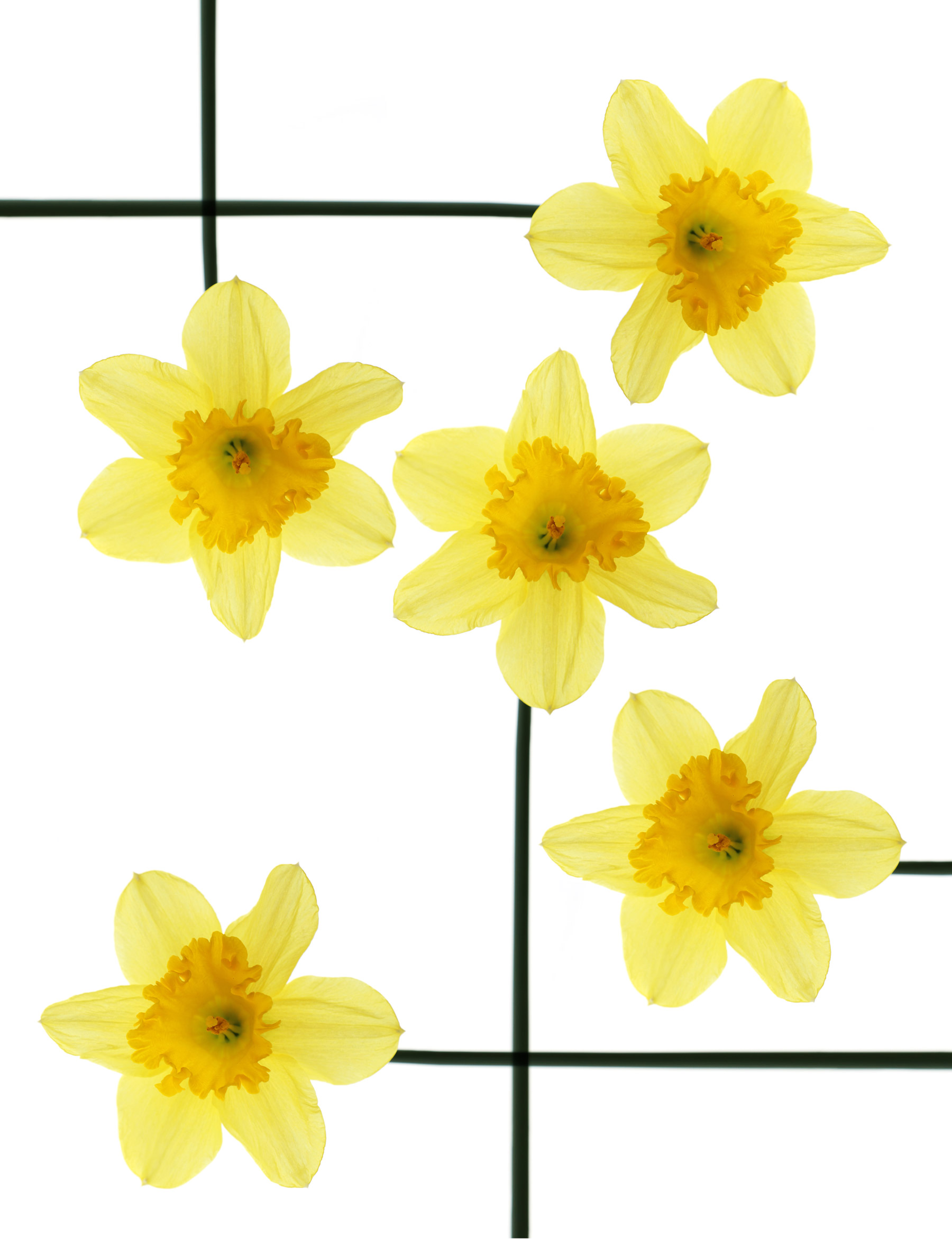 the unbearable happiness of daffodils