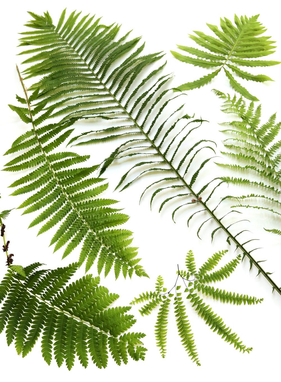 peak fern season